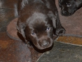 Close up of a chocolate lab puppy