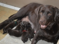 Labradale Chocolate labrador puppies