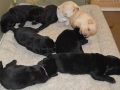 A Litter of Lab Puppies