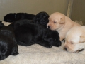 Labradale Kennels - Labrador Puppies