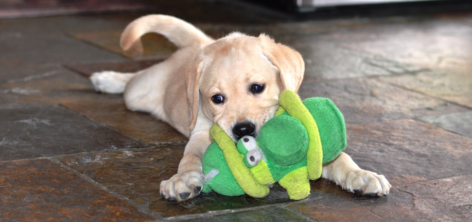 Lab puppy playing with a toy