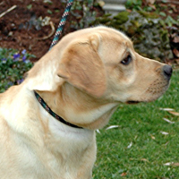 honey yellow labrador retriever