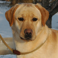 saffron dark yellow lab