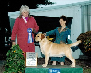 Dark yellow labrador retriever winning in the USA