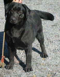 Black Labrador Female in Montreal.