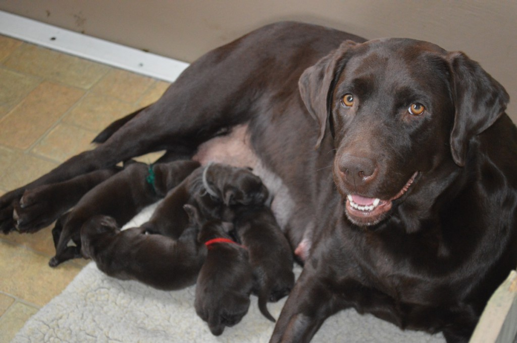 Labradale-Chocolate-labrador-puppies